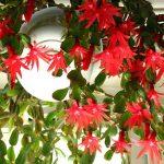 Hatiora Gaertneri o Cactus di Pasqua