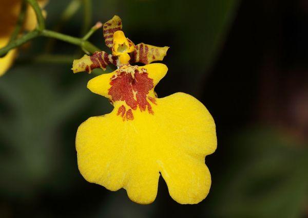 caratteristiche Oncidium (fiore)