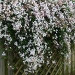 Gelsomino comune bianco – Jasminum officinale