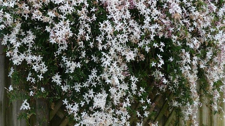 Gelsomino comune bianco - Jasminum officinale
