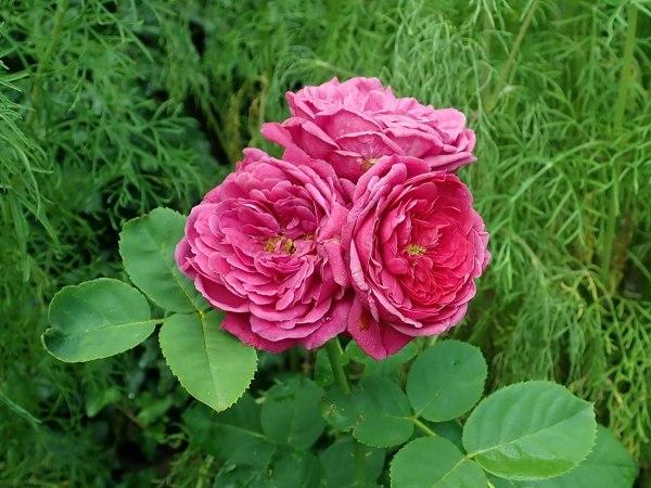 rose nostalgiche Rosa Ascot