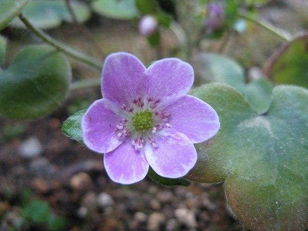 H. japonica
