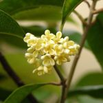 Osmanto odoroso (Osmanthus fragrans)