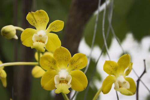orchidea vanda denisoniana profumata