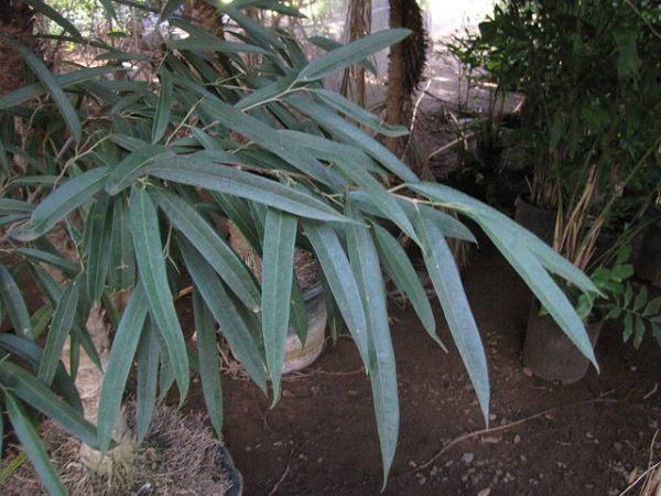 foglie Ficus maclellandii