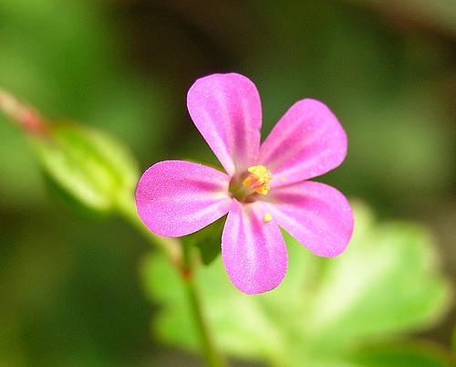 geranio lucidum