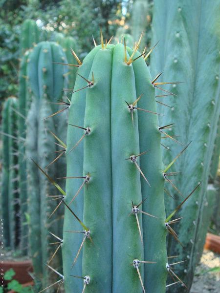 Cactus bridgesii