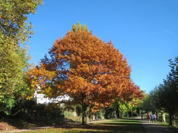Coltivazione Quercia rossa (specie Quercus rubra)