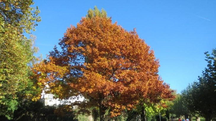 Coltivazione Quercus rubra (Quercia rossa)