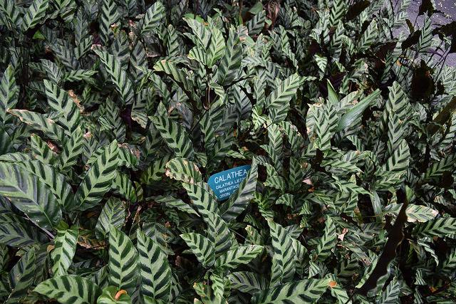 Calathea lindeniana