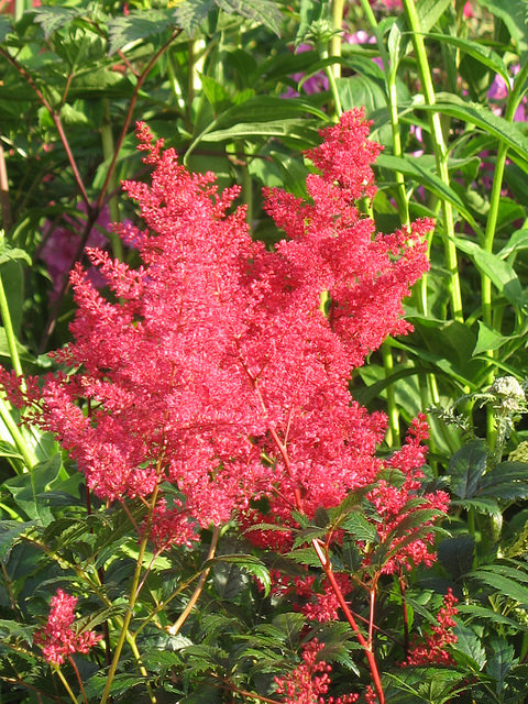 astilbe japonica montgomery