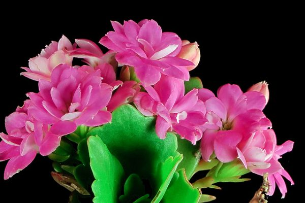Calancoe blossfeldiana
