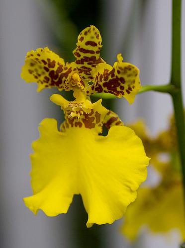 Oncidium Orchidea