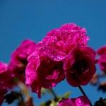 Fiori e piante dalla A alla Z: Erica, Fucsia, Geranio, Ibisco, Margherita, Nastruzio