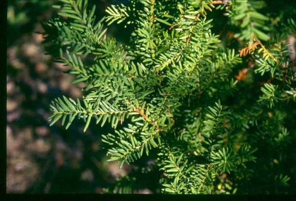 Coltivazione Tasso canadese (Taxus canadensis)