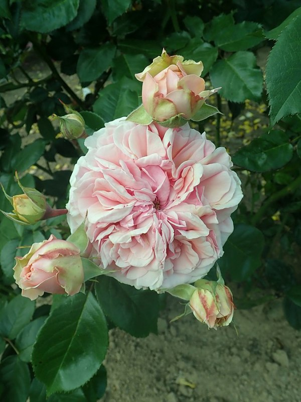Rosa Chippendale