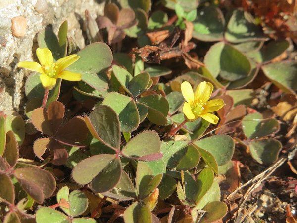 Oxalis corniculata - Acetosella dei campi