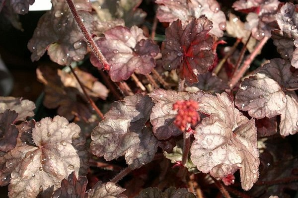 coltivazione heuchera hollywood