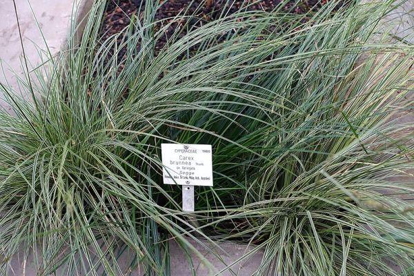 Coltivazione graminacee ornamentali: Carex brunnea variegata