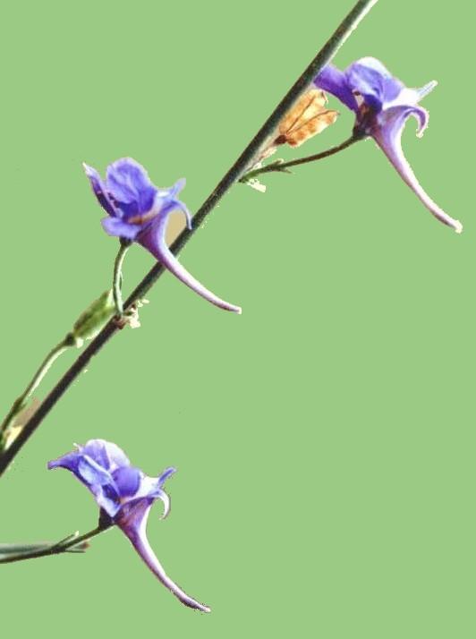 Delphinium emarginatum