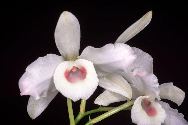 Dendrobium nobile