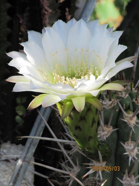 cactus deserticola
