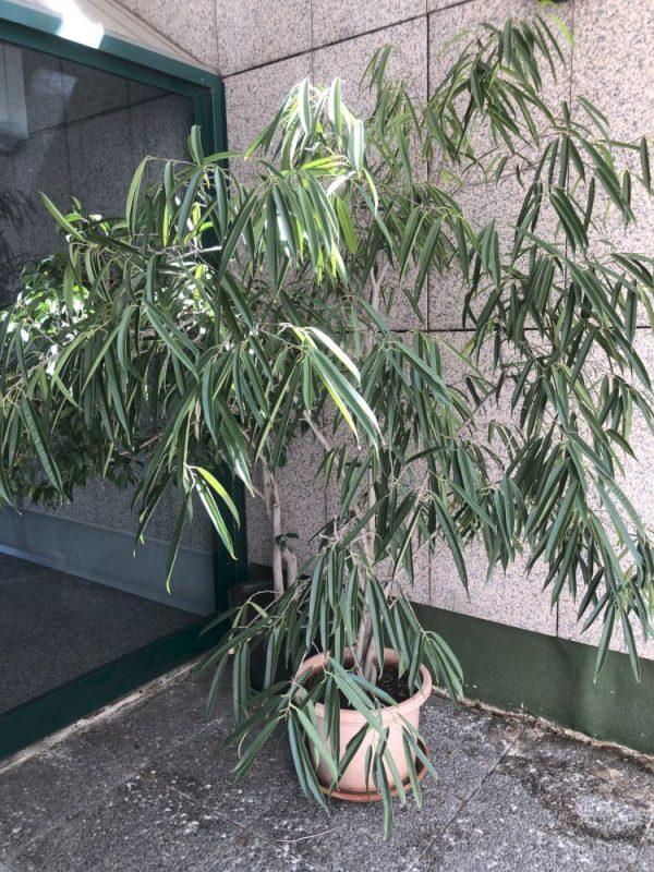 Ficus Maclellandii Alii