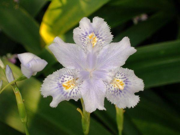 Iris crestati specie confusa