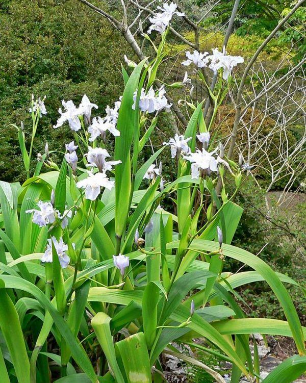 Iris crestate wattii
