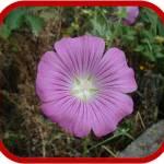 Althea rosea (Malvone o Malvarosa)