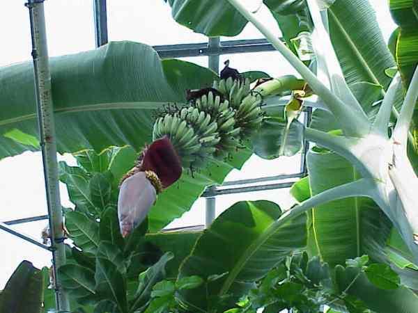 Banano Nano Musa Acuminata