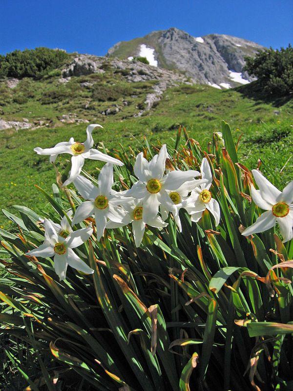 Narciso dei poeti  (Narcissus poeticus)