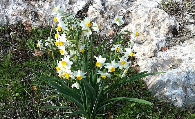 Tazzetta, Narcissus tazetta