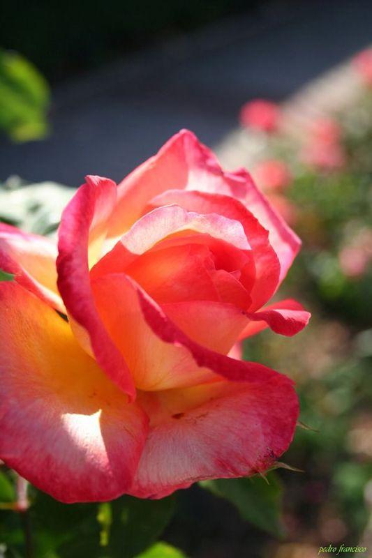 Rosa Bettina