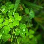 Trifoglio (Trifolium)