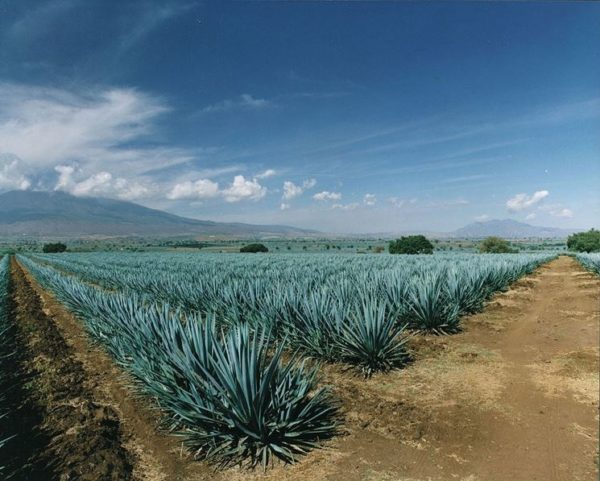 agave tequilana o agave blu