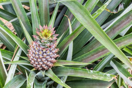 Pineapple fruit farm growing