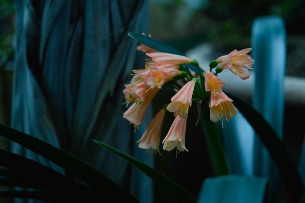 Clivia con fiori color  pesca