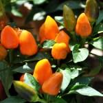 Peperoncino  (Capsicum Annuum)
