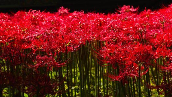 coltivazione lycoris in giardino