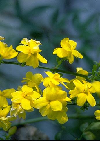 jasminum primulinum giallo