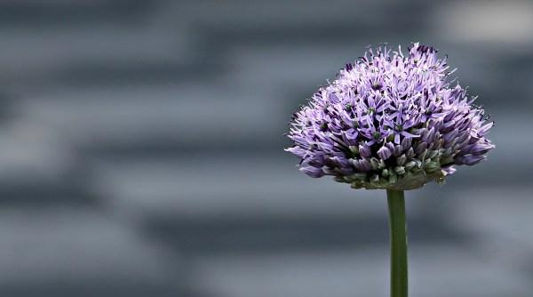 Bulbose a fioritura estiva: Allium