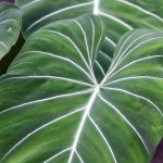 Filodendro (Philodendron)