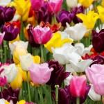 Come Piantare le varietà più belle di Bulbi da Tulipani