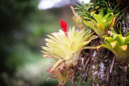 Beautiful bromeliaceae in tropical garden in Martinique. Tropical Balata garden in Martinique
