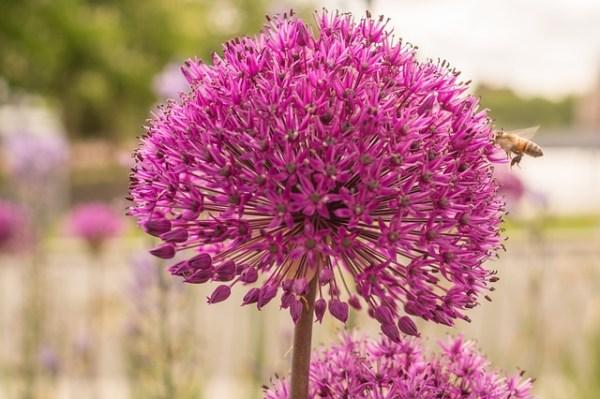Allium purple