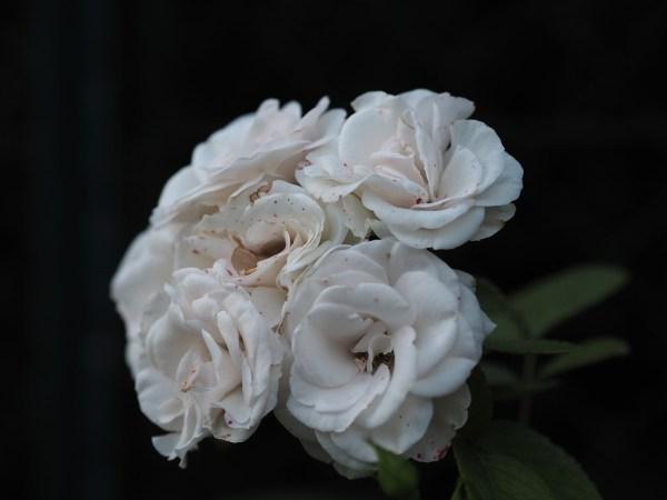 Clerodendrum fragrans