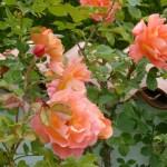 Rose nostalgiche