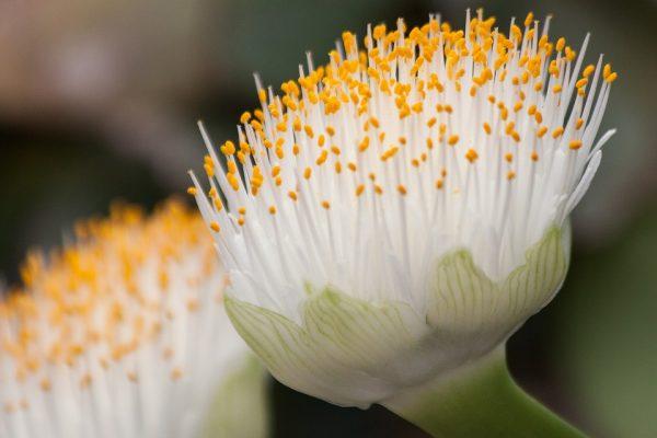 fioritura haemanthus