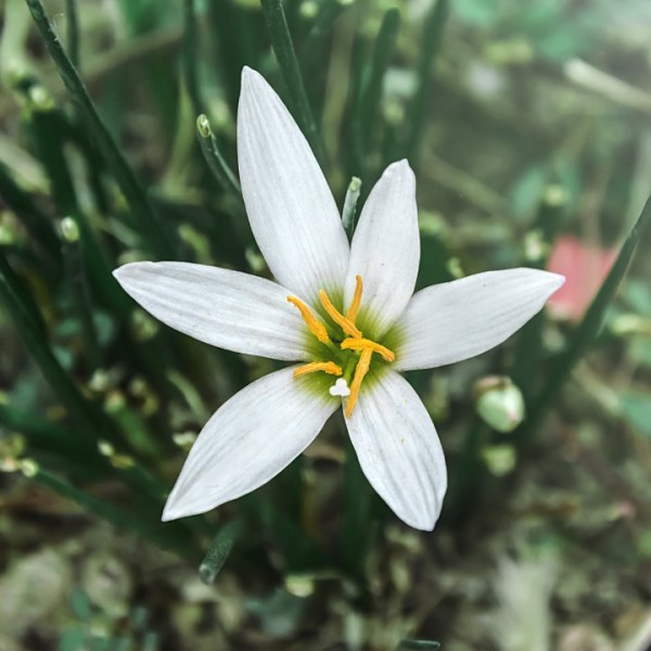 Bulbose a fioritura estiva: Zephyranthes